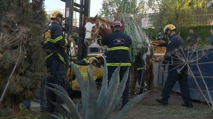 VIDEO. Paard Rodeo werd door een heftruck uit een vuilnisbelt gered