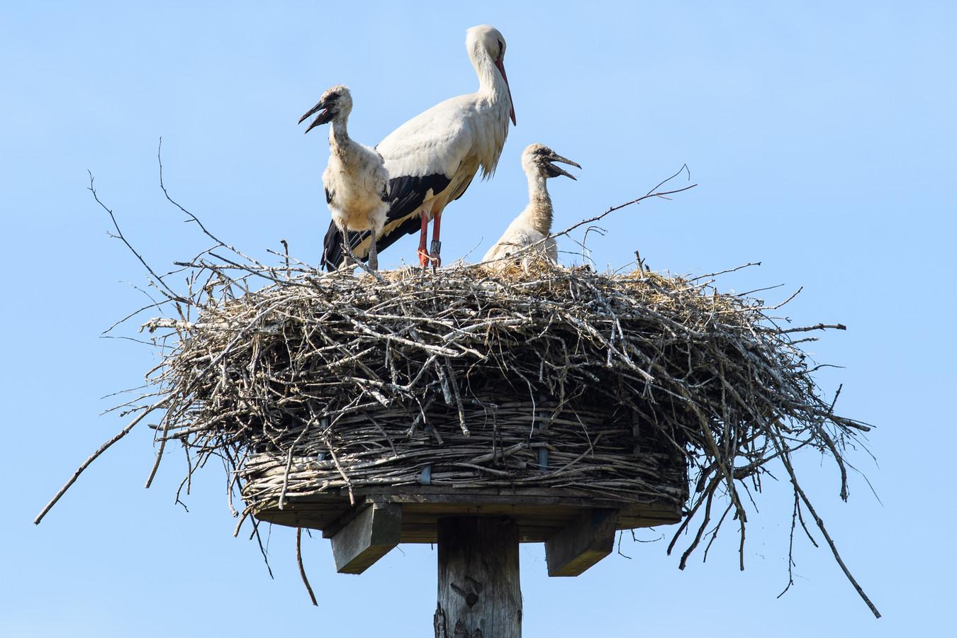 Ooievaar Ollie met twee jongen. De buurt is haar liever kwijt dan rijk, want de vogel terroriseert de boel.