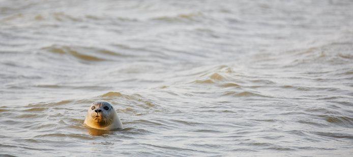 Zeehonden proberen de laatste tijd via de drukke Brouwersdam van de Grevelingen naar de Noordzee te komen.