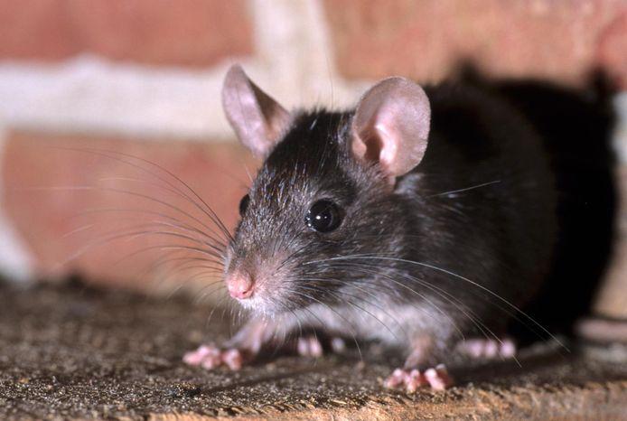 De gemeente Rotterdam krijgt veel meldingen over rattenoverlast in Ommoord.