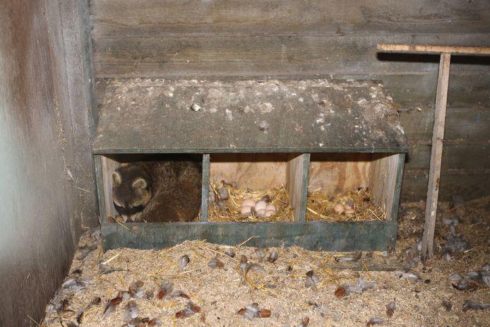 Wasbeer duikt op in het leghok van Albert Vesters.