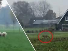 Bijzondere beelden! Wolf rent op klaarlichte dag door weilanden bij Apeldoorn: 'Een beetje eng'