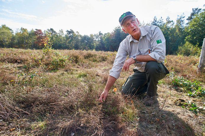 Boswachter Frank van Kalleveen bij de heide in De Maashorst die door de aanhoudende droogte en warmte bruin kleurde in plaats van paars.