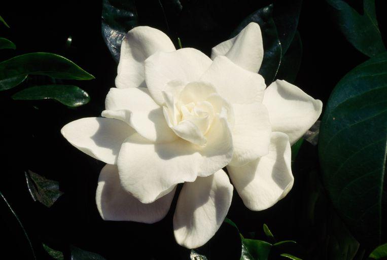 'Mijn grootmoeder droeg elke dag zo'n bloem in haar haar.' Beeld Belga