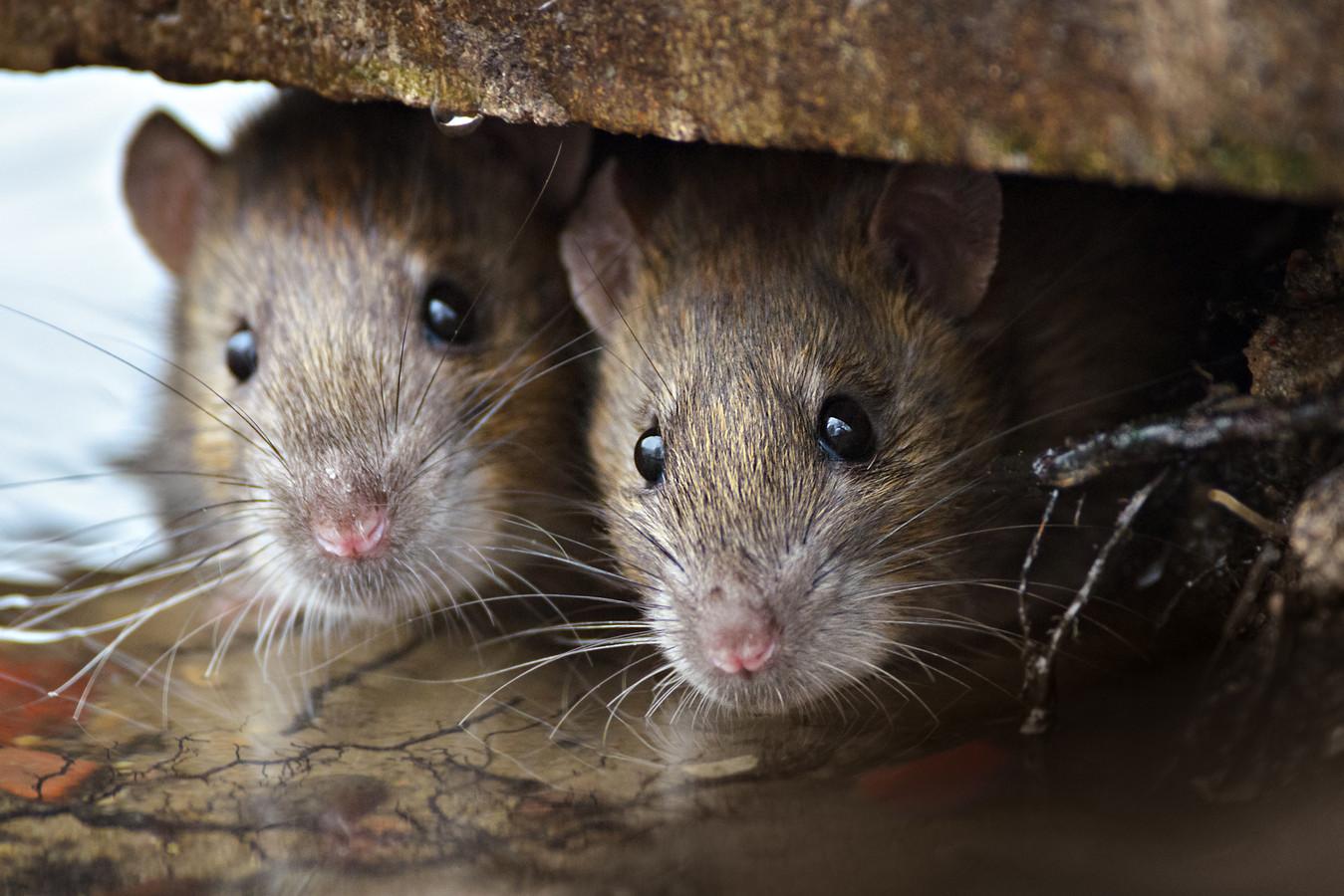 Op de locatie in Den Helder werden uitwerpselen van ratten gevonden.