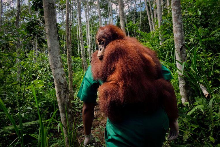 Vervangvader Adi geeft de 5-jarige Sibring, die opgroeit zonder ouders, boomklimles. De bedoeling is dat hij over twee jaar zelfstandig kan overleven in het wild.  Beeld © Alain Schroeder