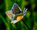 Op de Natuurbegraafplaats Schoorsveld: een paradijs met veel bloemen waar ook deze prachtige Icarusblauwtjes een plekje hebben!  Vriendelijke Groet, Ben Pollmann Ds. Kremerstraat 20 5591GH Heeze 040 2265668