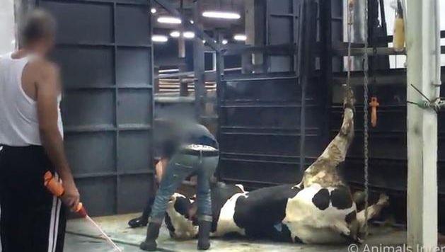 Après un voyage de plusieurs milliers de kilomètres durant lequel elles sont privées d'eau et de nourriture et parfois battues, les bêtes débarquent dans de véritables salles de torture. Suspendus en l'air en pleine conscience, les animaux sont ensuite égorgés vivant et se vident de leur sang. L'agonie est totale.
