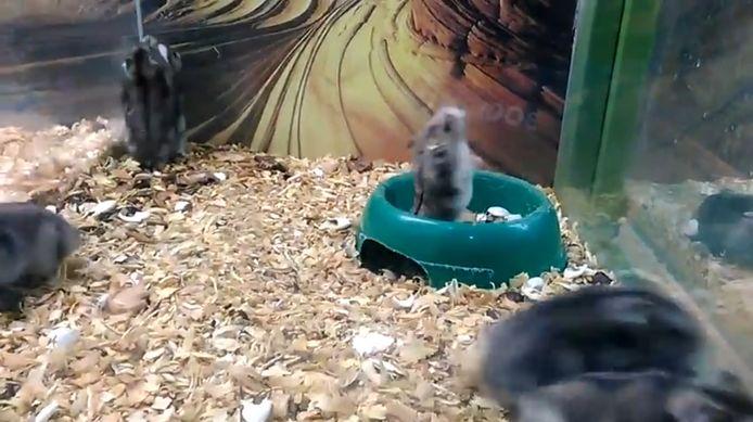 Hamsters krijgen minder snel corona als hun soortgenoten mondkapjes dragen.