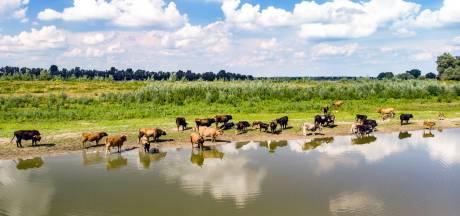 Runderen langs de Waal zitten vol gif, verkoop van 'oervlees' stilgelegd