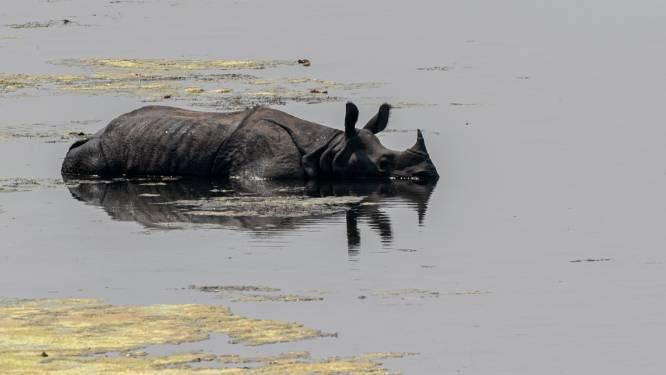 Neushoornpopulatie in Nepal hoogst in 20 jaar
