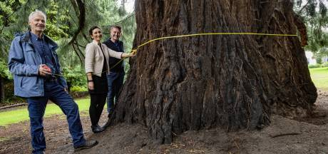 'Kabouterboom' in Beek is niet meer de dikste boom van Nederland