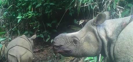 Des bébés rhinocéros de Java, menacés d'extinction, repérés en Indonésie