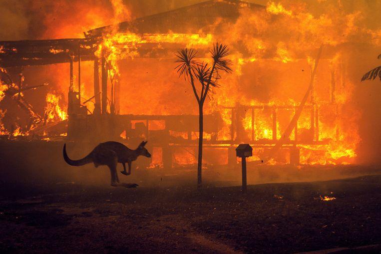 Een kangoeroe op de vlucht bij een brandend huis in Australië.  Beeld Matthew Abbott/The New York Times