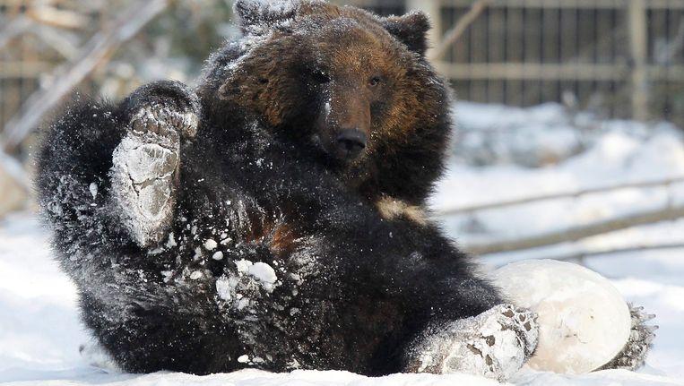 Bruine beer Mascha is de moeder van de dode welpjes. Beeld EPA