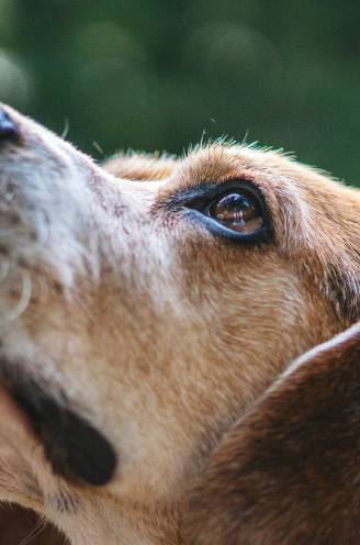 Als je ziek bent, ruik je anders: honden worden steeds vaker gebruikt om aandoeningen zoals kanker en corona op te sporen