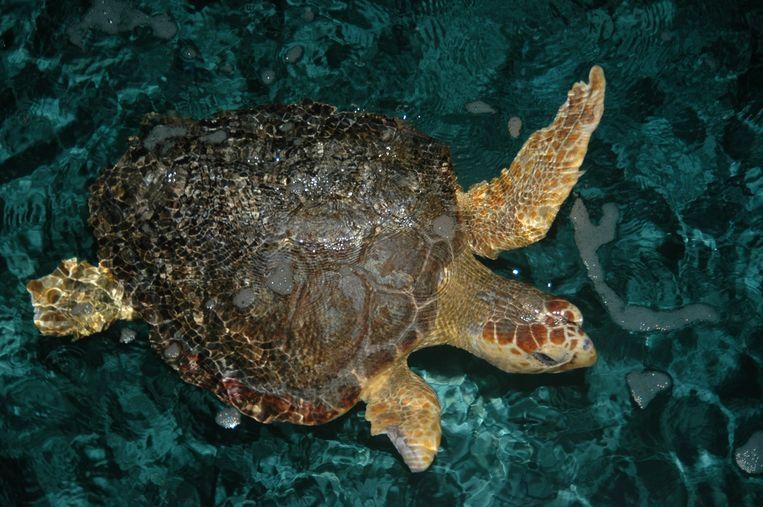 De onechte karetschildpad. Beeld