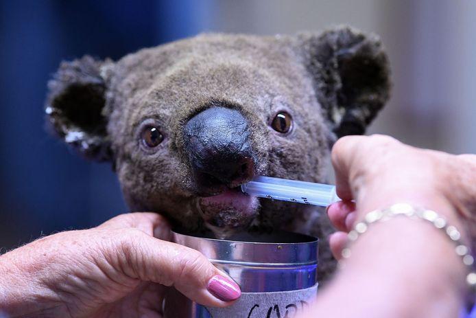 Een gewonde koala wordt verzorgd in het koalaziekenhuis in Port Macquarie.