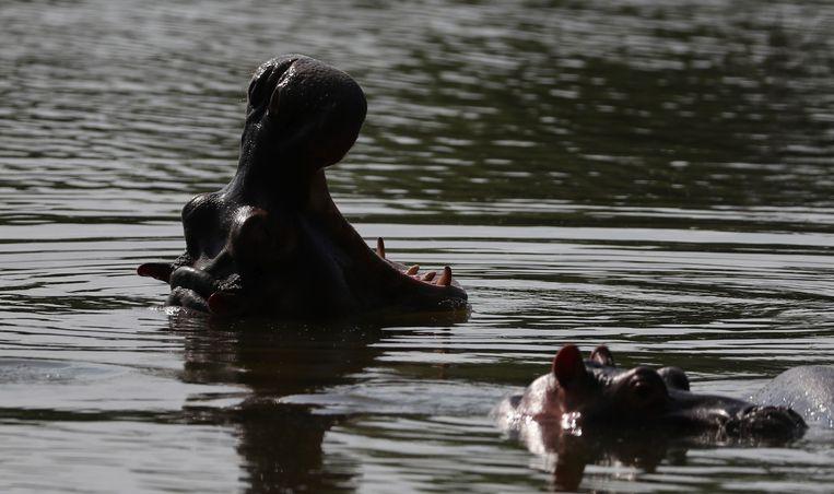 Nijlpaarden zijn overdag in de meren rond het park te vinden Beeld AP