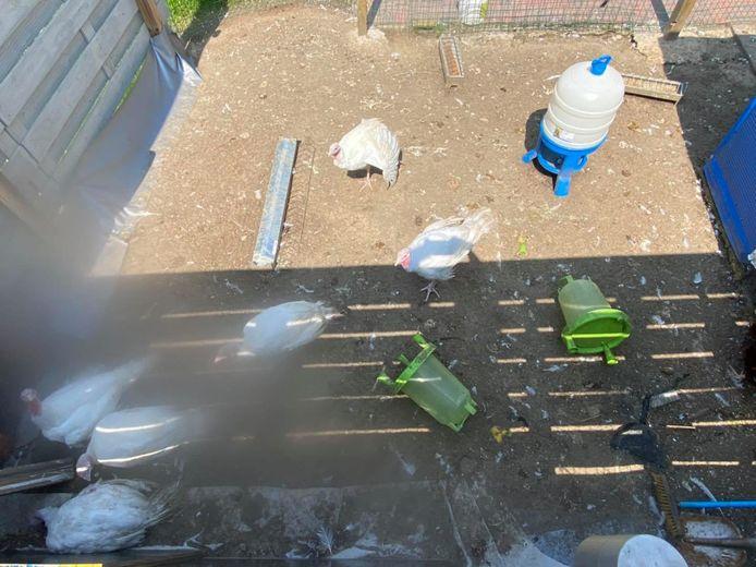 Voor twee dieren kwam alle hulp te laat, maar de politie en zorgboerderij Huppeldepup konden toch nog wat pluimvee redden in Humelgem.