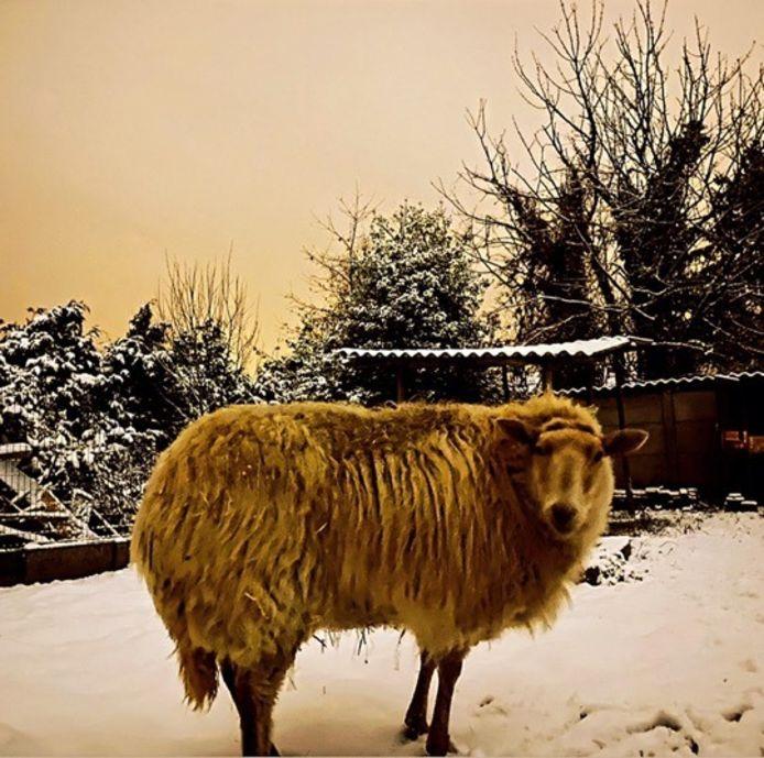 Dit schaap vindt sneeuw blijkbaar minder leuk dan de kinderen.