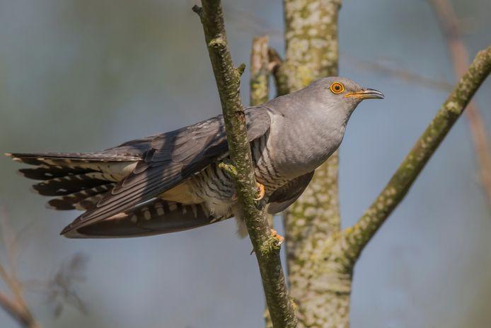 Deze vrouwelijke koekoek heeft net haar eigen eieren in het nest van een andere vogel gedropt.