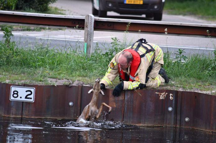 In het kanaal aan de Brugstraat in Daarlerveen is zaterdagochtend een ree gered van de verdrinkingsdood