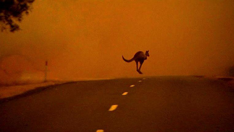 Een kangoeroe in Gippsland vlucht voor het vuur. Beeld EPA