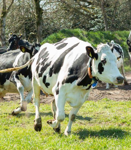 Koeien springen van blijdschap de wei in: 'Een bucketlist dingetje'