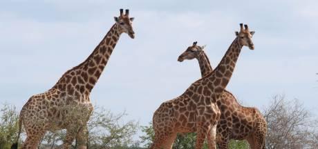 Drie giraffen geëlektrocuteerd door laaghangende stroomkabels