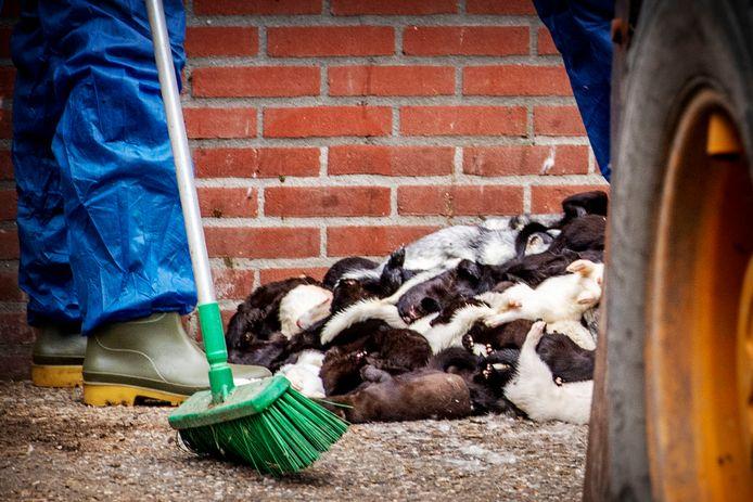 Het ruimen van nertsen bij een bedrijf in Ospel.