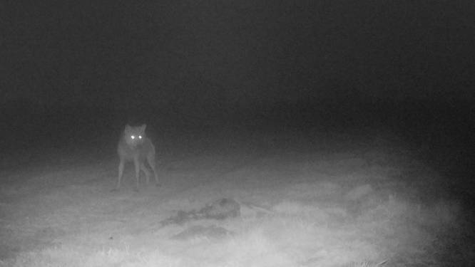 DNA-analyse brengt bewijs: geen hond, maar wolf beet schapen dood op Kalmthoutse Heide