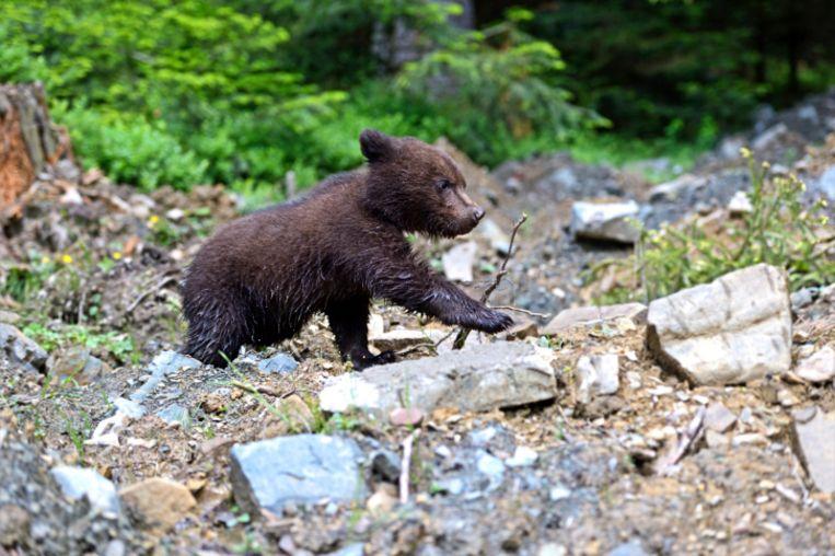 Een berenwelpje. Beeld Thinkstock