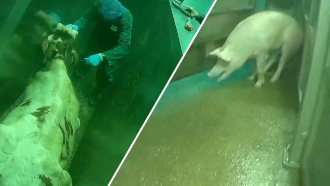 Kamer wil slachterij Gosschalk in Epe direct sluiten na beelden van 'weerzinwekkende' dierenmishandeling