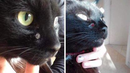 Dierenbeul terroriseert buurt: verschillende katten beschoten