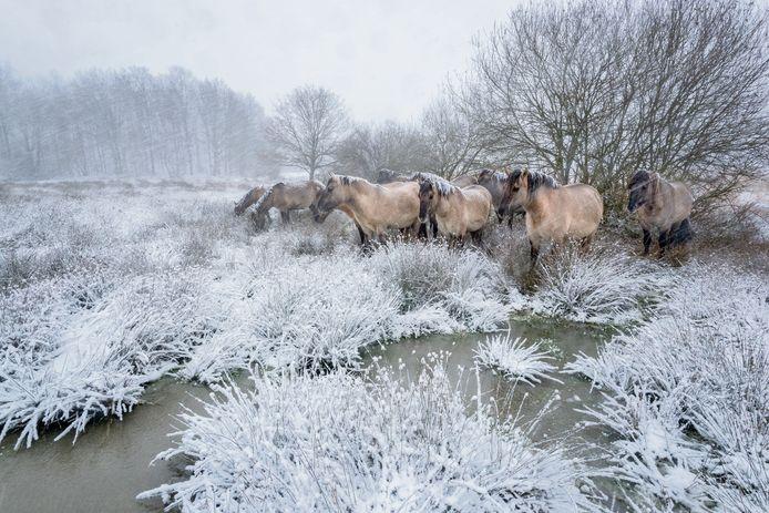 Konikpaarden in de Pannenhoef, foto uit het boek 'Met andere ogen - Natuur in de Baronie'