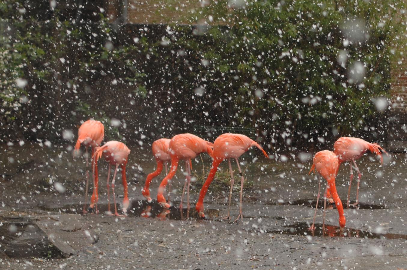 25 maart 2008: de flamingo's uit de Zoo van Antwerpen werden verrast door een winterse bui.