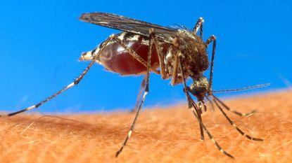 Dodelijke dengue-epidemie dreigt uit te breken in twee speelsteden Rode Duivels