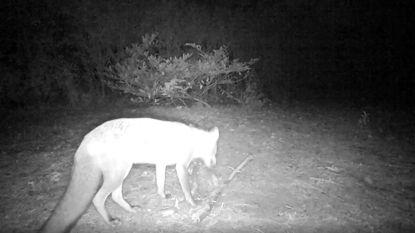 IN BEELD. Jachtorganisatie krijgt bezoek van vos die door Josaphatpark doolt