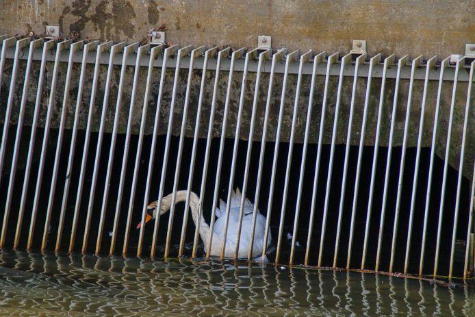 zwaan zwemt zich klem in Nijkerk