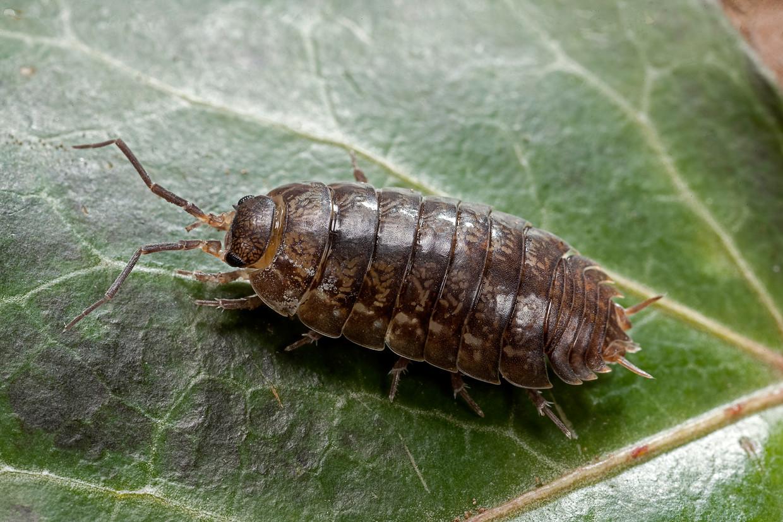 Terrestrial Crustacea Beeld Getty Images
