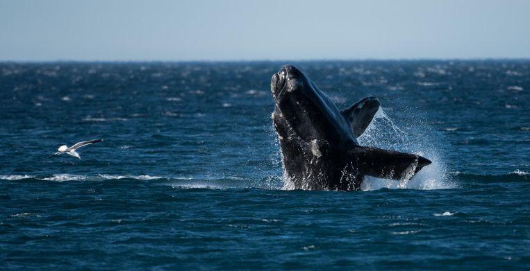 Een noordkaper, een van de grootste walvissoorten ter wereld. Beeld Thinkstock