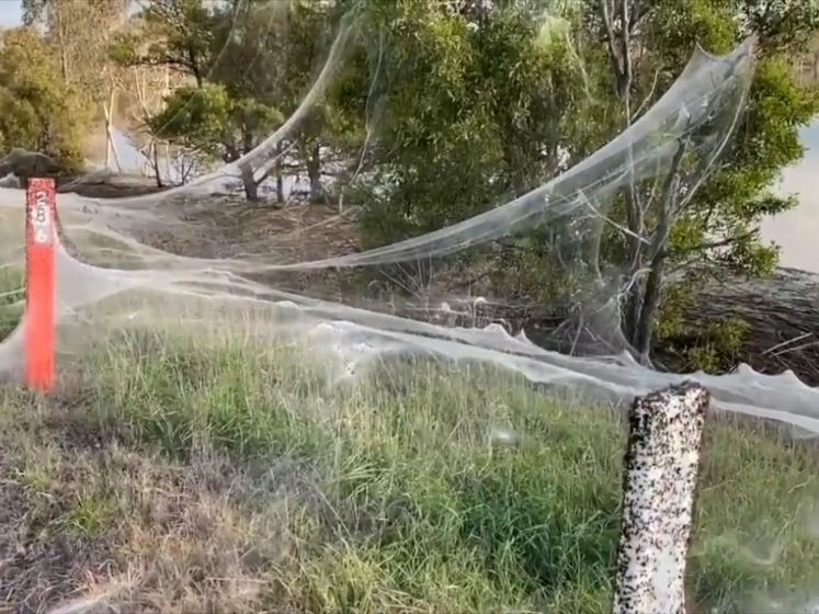Spookachtige taferelen in Australië: hele gebieden bedekt met spinnenwebben