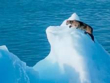 Un puma perdu sur un iceberg à la dérive