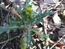 Wildplukken tijdens het wandelen: klein kruiskruid.