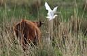 De koereiger vliegt weg van de behaarde rug van een rode geus in het Munnikenland bij Slot Loevestein.