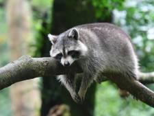 Dierenorganisaties: 'Provincie, stop wasberenjacht'