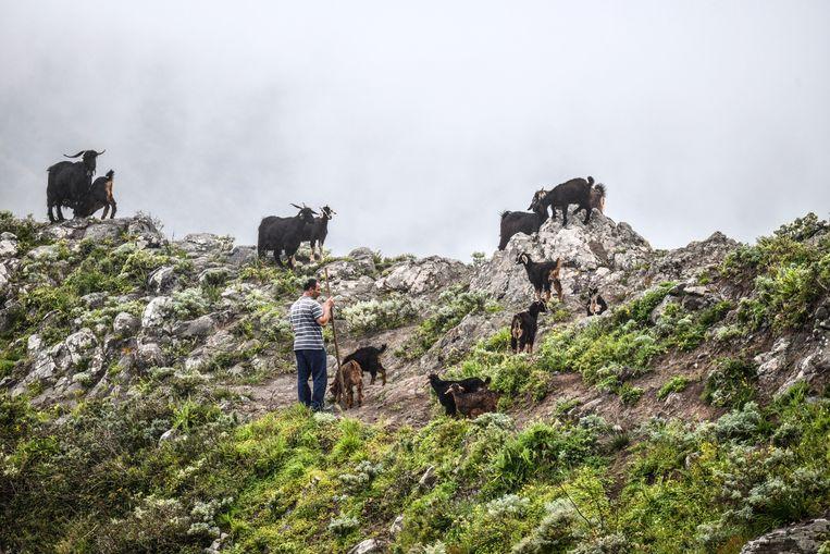 Op de Canarische Eilanden hebben boeren hun melkkoeien vaarwel gezegd. Gunter Pauli: 'Ze hebben ingezien dat het slimmer is om met geiten te werken. Die kunnen ze gratis voeren met onkruid.'  Beeld UIG via Getty Images