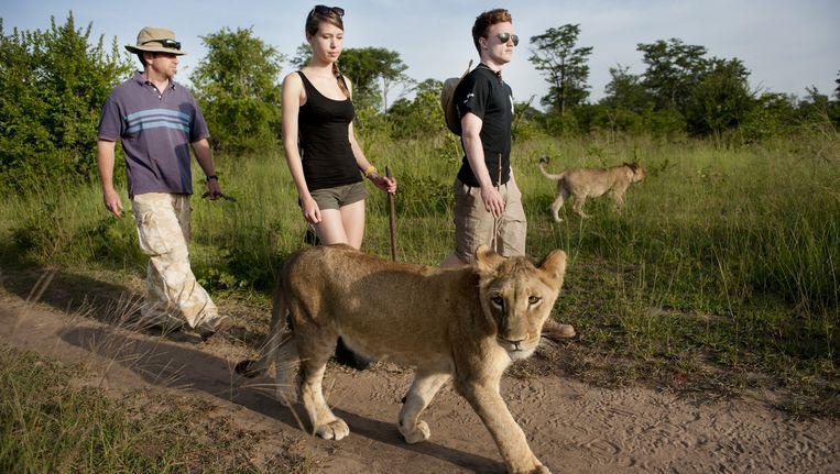Engelse vrijwilligers (in het midden Zoë Phillips uit Cambridge) laten langs de Zambezi-rivier dagelijks de leeuwinnen Safiya en Tula uit, opdat het jachtinstinct van de gefokte dieren wordt ontwikkeld. Beeld An-Sofie Kesteleyn