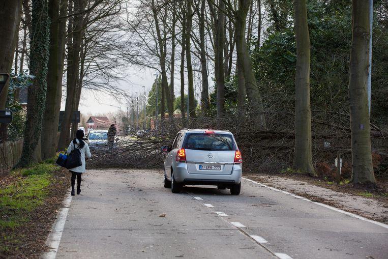 Omgevallen boom in Schalbroekstraat in Lummen